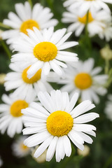 NaturPur (VisionsOfLight) Tags: anthemideae leucanthemum margeritte natur stimmung flower nature exif:focallength=105mm camera:make=canon exif:isospeed=100 camera:model=canoneos5dsr exif:lens=105mm exif:model=canoneos5dsr exif:aperture=ƒ95 geolocation exif:make=canon
