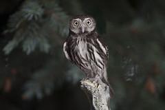 Pygmy Owl - Ferruginous (Glaucidium brasilianum) (Vegas Nelson) Tags: nikond810 bird glaucidium brasilianum ferruginous pygmy owl arizona raptor ornithology talon beak avian wing winged nature wildlife feather bokeh flight