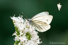 Schmetterling 170 (rgr_944) Tags: schmetterling butterfly papillon tiere insekten macro natur canoneos60deos70deos80deos7dmk2eos5dmk4 rgr944