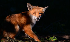 Red Fox (toothandclaw1) Tags: fox red countryside early morning sun