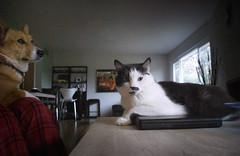 Laptop (MkikiJo) Tags: animals shannon fresno kitties