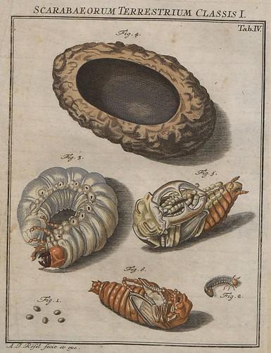 Scarabaeorum terrestrium Classis I V.2