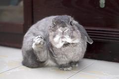Bunny + groom = funny (jade_c) Tags: pet rabbit bunny animal mammal singapore opal  hollandlop andora   lagomorph opalhollandlop