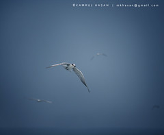 Brown-headed Gull (Kamrul - Hasan) Tags: blue sea sky bird canon square eos flying team seagull 11 front 400d brownheadedgull canon55250mmis