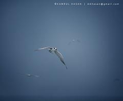 Brown-headed Gull (Kamrul - Hasan) Tags: blue sea sky bird canon square eos flying team seagull 11 front 400d brownheadedgull canon55250mmis