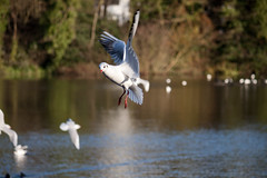 Black Headed Gull in flight (Simon Davey, Birds etc) Tags: black gull headed