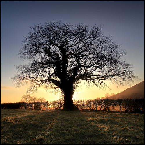 Oak Tree - Glastonbury