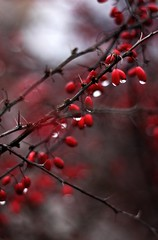 Red berries ([Sir] Bali) Tags: red water berry bokeh canonef50mmf18 droplet thorn vc piros tske csepp vz bogy canon450d