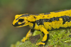 Salamandra salamandra terrestris (henk.wallays) Tags: macro nature up fire europe close wildlife salamander german allemagne salamandra herp herps duits portugese molche terrestris amphibia lurche caudata herpetofauna urodela schwanzlurche schwanzlurchen