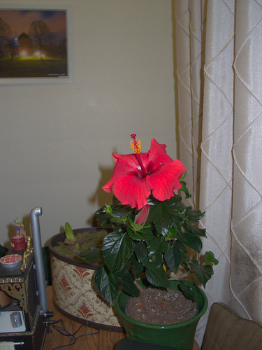 Hibiscus in Bloom on January 5