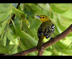 Birds of Sri Lanka , Species No 64 (Sara-D) Tags: park nature birds canon wildlife aves national srilanka ceylon common supershot iora commoniora aegithinatiphia asianwildlife mywinners abigfave kumana anawesomeshot aegithina tiphia birdsofsrilanka aegithinidae thewonderfulworldofbirds birdsofsouthasia wildsrilanka kumananationalpark