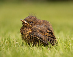 Baby bird (Ianmoran1970) Tags: baby brown green bird grass garden bokeh beak young ianmoran ianmoran1970