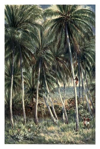 013-Cocoteros en el norte de Queensland-Australia (1910)-Percy F. Spence