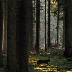 Meeting the Prince of the Royal woods (Bn) Tags: topf50 topf300 bambi topf100 500faves topf200 reddeer easterbunny thumper enchantedforest tms deerhunter natuurmonumenten baarn soest topf400 destulp zandverstuiving sprookjesbos topf500 koninginbeatrix tellmeastory lariks delagevuursche atdawn staatsbosbeheer rustgebied brownhare avondschemering europeanhare fijnspar groveden 100faves 50faves naaldbomen ooginoog 200faves struikgewas greatatmosphere drakenstein topseven rareopportunity 300faves closedarea pluismeertje konijnenberg royalwoods wildehaas 400faves infinestyle douglasspar devuursche sognidreams tgroenehart drakensteyn forestscenics theprinceoftheforest middleoftheforest rustgebiedvoorwild opderandvanhetrustgebied heideenstuifzandgebied oudeboskernen kleinstebeweging verdwijnenzeweer zeldzameontmoeting thehareranouttoo bambenstamper greentreasure warmglowofsunshine roedelherten hemlockspar sitkaspar benthehunter greatprinceandthumber