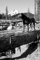 my doggy and the mountain (Liza Carlson) Tags: trees bw mountain dylan dogs nature animals rock oregon landscape or mthood washout cascademountainrange mthoodnationalforest