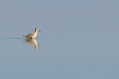Willet (Winter Plumage)