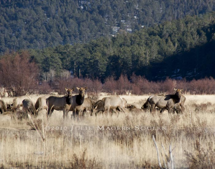 A group of elk cows, one pair looking to be a mother and daughter, watch closely for predators in Rocky Mountain National Park, Colorado.