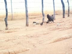 (Brisa Almeida) Tags: familia galinha pintinhos