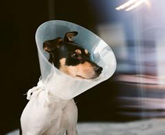 (Gebhart de Koekkoek) Tags: dog film hat kodak poor patient peter bronica 100 6x7 operation gs1 ektar