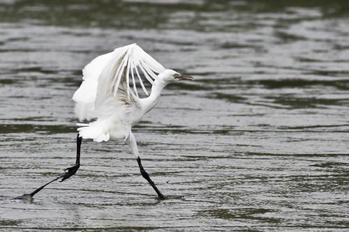 ?? Egret