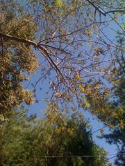 "Ash tree ""flowering"""
