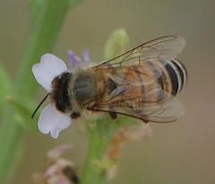 Ligurian Honey Bee bb_6258_2 of 3 (paperdaisy8) Tags: southaustralia kangarooisland familyapidae orderhymenoptera genusapis westerncove speciesamellifera subspeciesamligustica