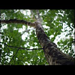 Birch (David Panevin) Tags: plant tree nature leaves bokeh branches australia olympus m42 tasmania birch e3 zenitar kettering russianlens bokehlicious davidpanevin zenitarm2smc50mmf2