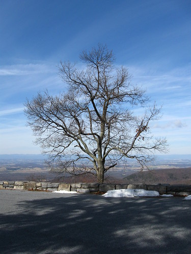 Overlook Tree