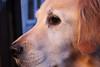 (Jess Walters) Tags: dog goldenretriever puppy golden canine buddy