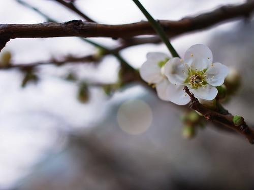 white plum-blossom