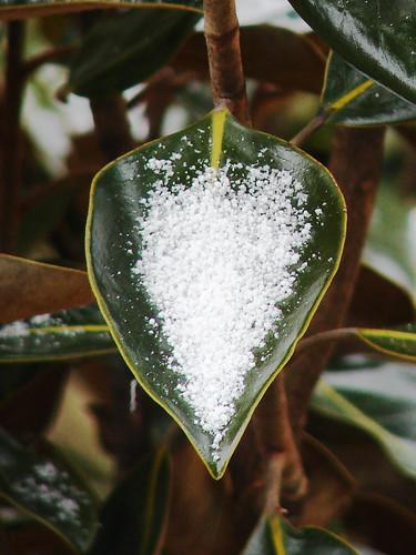 Grain on a Magnolia (texture)