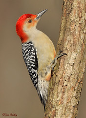 Red-bellied Woodpecker - Melanerpes carolinus (JRIDLEY1) Tags: red tree bird nikon michigan redbelliedwoodpecker mywinners platinumphoto redbelliedwoodpeckermelanerpescarolinus nikond3 jridley1 jimridley dailynaturetnc09 httpjimridleyzenfoliocom photocontesttnc10 lifetnc10 photocontesttnc11 photocontesttnc12