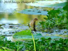 Red-wing Blackbird Female (Image Hunter 1) Tags: nature birds louisiana bayou swamp marsh blackbird hyacinths lakemartin redwingblackbirdfemale birdslouisiana cypressislandpreserve panasonicfz35 raynox2025hd22x