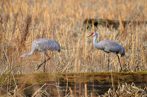 Sandhill Cranes on the hunt