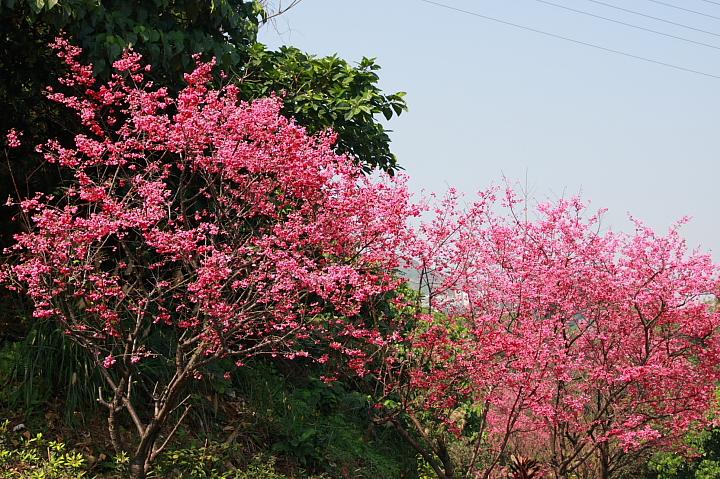 樹林大同山青龍嶺的櫻花林0028