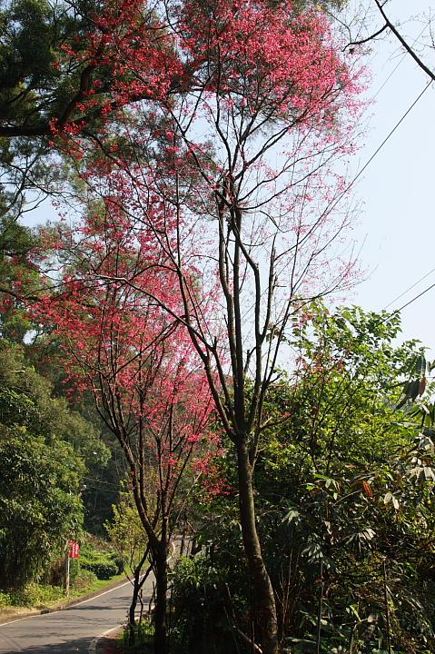 樹林大同山青龍嶺的櫻花林0021