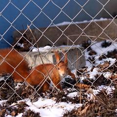 (blincom) Tags: schnee winter red snow animal fauna square squirrel web hunger sq netz eichhrnchen redsquirrel sciurusvulgaris sciuridae 500x500 blincom