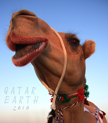 Beauty Camel by Qatar Earth   (Qatar Earth  ) Tags: beauty by earth camel qatar    abigfave