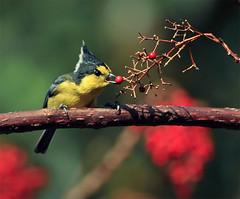 #559  (John&Fish) Tags: wild bird nature wow taiwan best supershot parusholsti physis thebestofday gnneniyisi