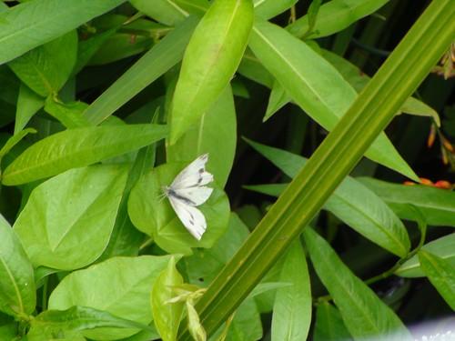 Mototapu vlindertje
