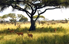 Tanzania, Serengeti National Park (mountaintrekker2001) Tags: africa tanzania safari impala serengeti wildanimals