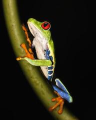 Climbing (Alfredo11) Tags: naturaleza nature colors animal eyes colores frog climbing ojos rana trepando