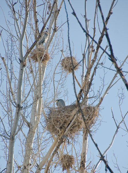 Great Blue Herons staking out their nest sites.