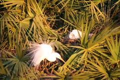 gatorlandfeb26,2010 173 (Raelene's Photography) Tags: orlando hummingbird florida herons egrets chics shorebirds gatorland swallowtailedkite gotorland