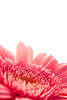 pink[y] (colors98) (apollon65) Tags: pink flower macro nature colors closeup this is dof please pov group tagged gerbera be bloom sure onwhite soe excellence testimonial naturesfinest mywinners abigfave shieldofexcellence platinumphoto flickrdiamond theunforgettablepictures
