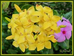 Ixora chinensis 'Singapore Yellow'