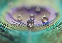Peacock Pearls (Morphicx) Tags: blue blur green bird animal closeup droplets drops dof purple bokeh feather peacock drop 100mm droplet 5d bokehwhore nostrobistinfo removedfromstrobistpool seerule2
