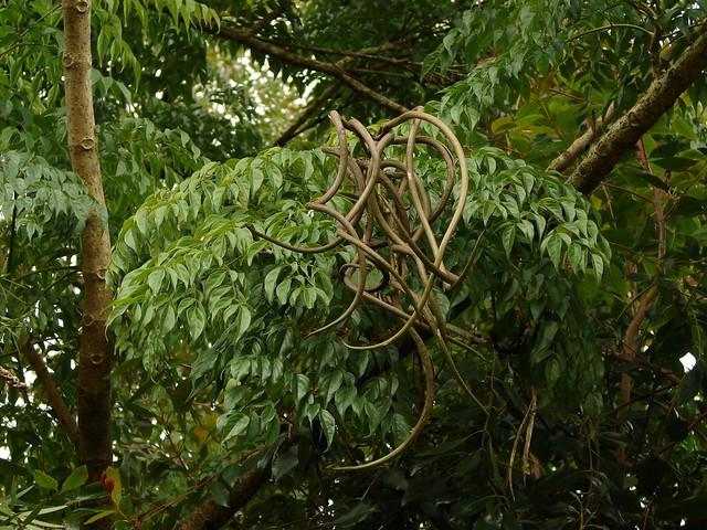 "Radermachera sinica - ""China Doll tree"" - seedpods"
