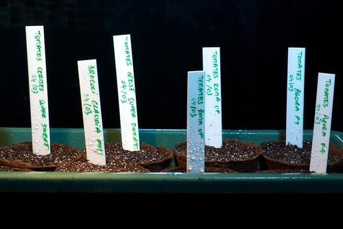 semis de tomates et de brocolis