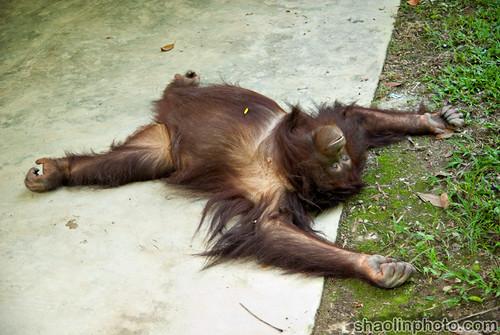 Stoned Orangutan
